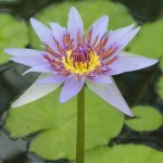 Post image for The Sacred Blue Lotus